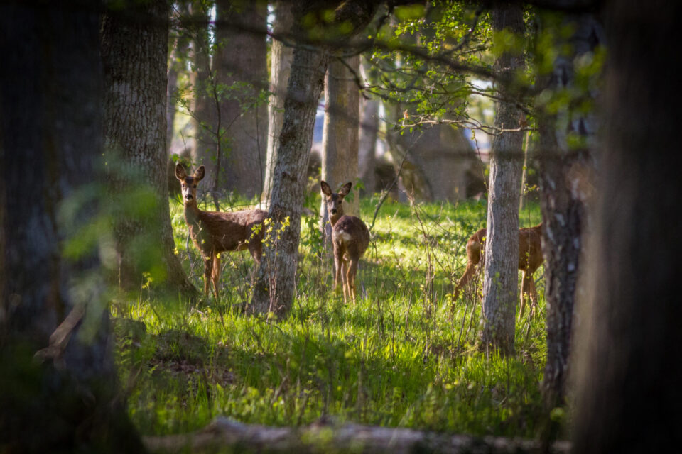 Rådjur vid Ottenby på Öland